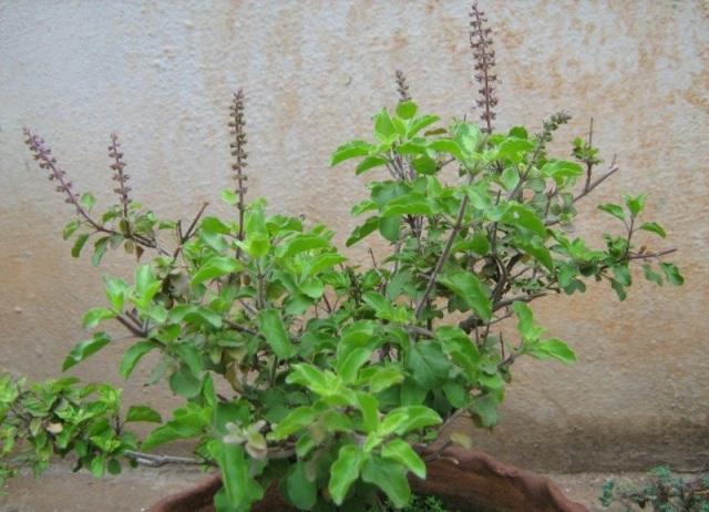garden-tulasi